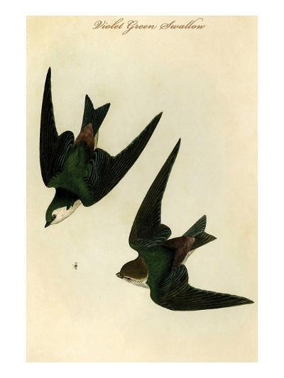 Violet Green Swallow-John James Audubon-Art Print