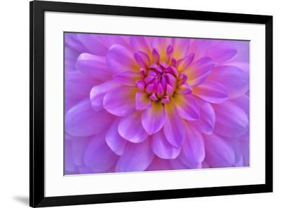 Violet-Pink Dahlia Flower-Cora Niele-Framed Giclee Print