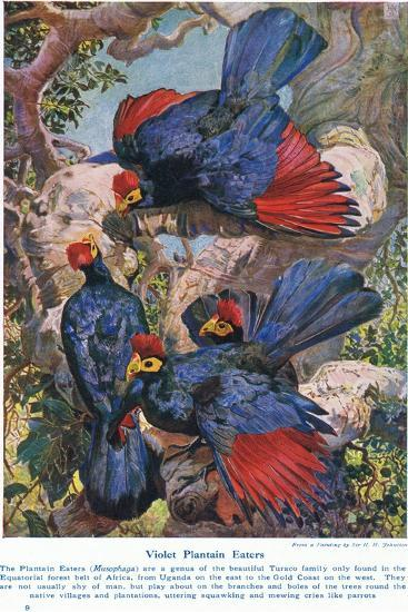 Violet Plantain Eaters, Illustration from 'Wonders of Lands and Sea', Published by Cassell,…-Harry Hamilton Johnston-Giclee Print