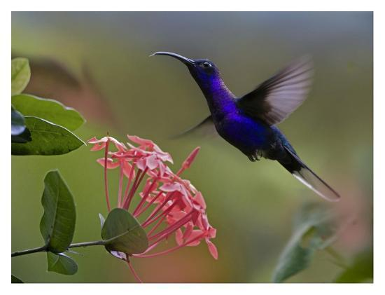 Violet Sabre-wing male hummingbird feeding at flower, Costa Rica-Tim Fitzharris-Art Print
