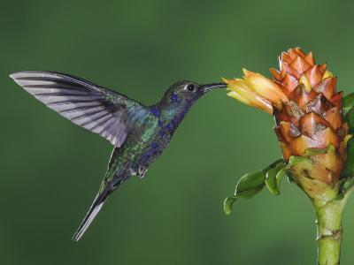 Violet Sabrewing in Flight Feeding on Spiral Ginger, Central Valley, Costa Rica-Rolf Nussbaumer-Photographic Print
