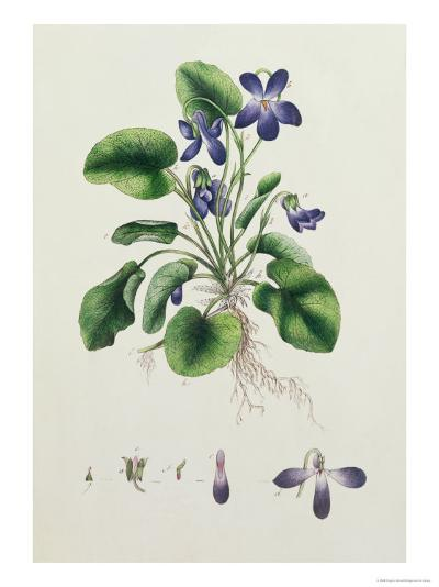 Violets, Page from an Album of Botanical Studies c.1830--Giclee Print