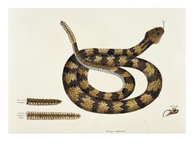 Viper Caudison Snake (Rattlesnake)-Mark Catesby-Giclee Print