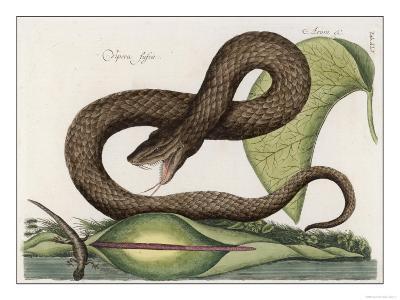 Vipera Fusca a Vicious Viper--Giclee Print