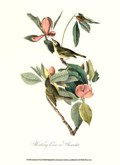 Vireo-John James Audubon-Art Print