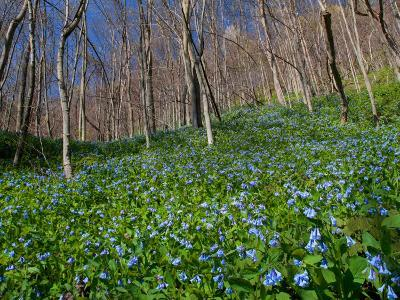 Virginia Bluebells, Mertensia Virginicais, Herald Spring in a Forest-George Grall-Photographic Print