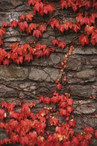 Virginia Creeper (Parthenocissus Quinquefolia) on Stone Wall. UK, Europe