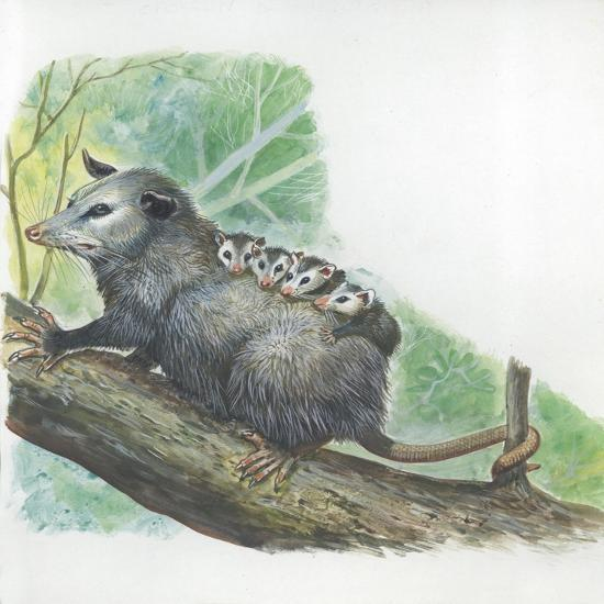 Virginia Opossum Didelphis Virginiana Carrying Cubs on Back--Giclee Print