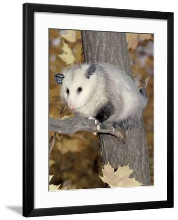 Virginia Opossum in Tree USA-Lynn M. Stone-Framed Photographic Print