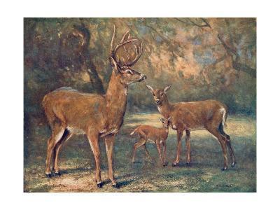 Virginian Deer, Wild Bst-Cuthbert Swan-Giclee Print