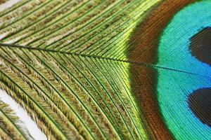 Close up of a Peacock Feather by Visage