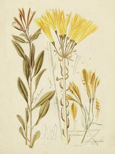 Antique Botanical Sketch IV by Vision Studio