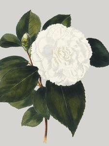 Camellia Japonica II by Vision Studio