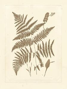 Sepia Ferns I by Vision Studio