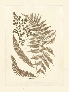Sepia Ferns III by Vision Studio