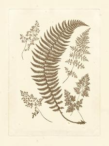 Sepia Ferns IV by Vision Studio