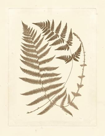 Sepia Ferns V
