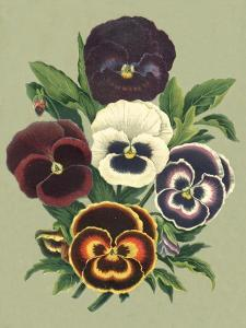 Tricolor Pansies I by Vision Studio