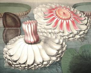 Vintage Water Lily II by Vision Studio