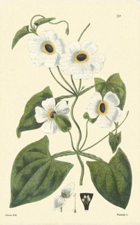 White Curtis Botanical IV by Vision Studio