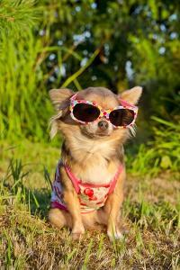 Chihuahua Wearing Sunglasses And T-Shirt In The Park by vitalytitov