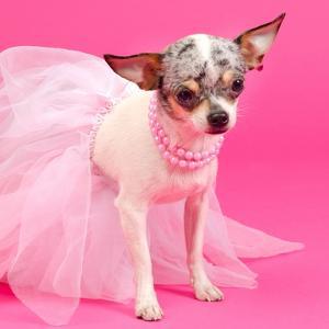 Tiny Elegant Chihuahua Dog by vitalytitov