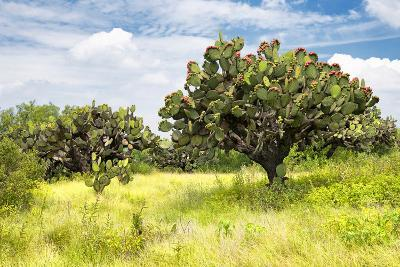 ?Viva Mexico! Collection - Prickly Pear Cactus II-Philippe Hugonnard-Photographic Print