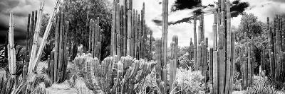 ¡Viva Mexico! Panoramic Collection - Cardon Cactus IV-Philippe Hugonnard-Photographic Print
