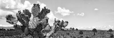 ¡Viva Mexico! Panoramic Collection - Desert Cactus VI-Philippe Hugonnard-Photographic Print