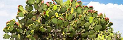 https://imgc.artprintimages.com/img/print/viva-mexico-panoramic-collection-prickly-pear-cactus-ii_u-l-q139y7v0.jpg?p=0