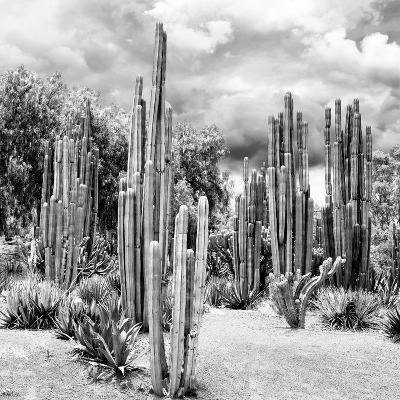 ?Viva Mexico! Square Collection - Cardon Cactus B&W II-Philippe Hugonnard-Photographic Print