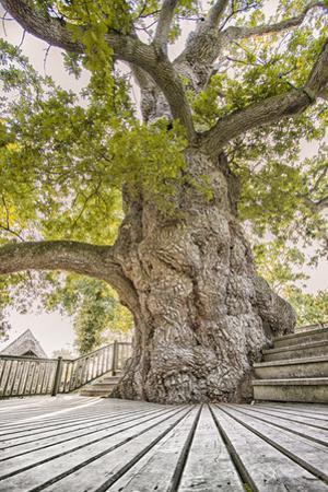Oak Guillotin by Viviane Fedieu Daniel