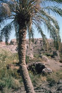 Palm Tree Below Lion of Babylon, Iraq, 1977 by Vivienne Sharp