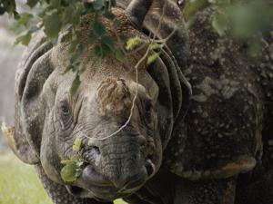 A Docile Looking Indian Rhino Chews on a Few Leaves by Vlad Kharitonov