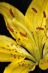 A Yellow Martagon Lily by Vlad Kharitonov