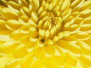 Close-up of a Yellow Chrysanthemum by Vlad Kharitonov