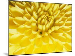 Close-up of a Yellow Chrysanthemum by Vlad Kharitonov