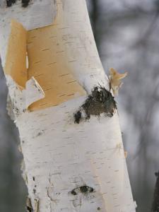 Close-up of the Bark of a Birch Tree by Vlad Kharitonov