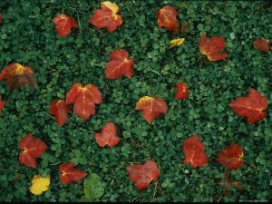 Red Maple Leaves Lie on Green Clover Grass by Vlad Kharitonov