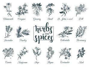 Herbs and Spices Set. Hand Drawn Officinalis, Medicinal, Cosmetic Plants. Engraving Botanical Illus by Vlada Young