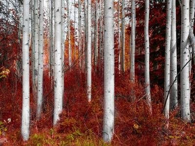 Fall Birches by Vladimir Kostka