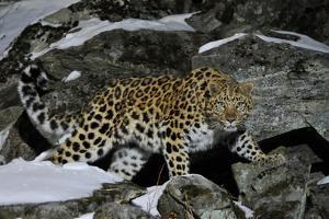 Wild Amur Leopard (Panthera Pardus Orientalis) on Rocky Hillside, Kedrovaya Pad Reserve, Russia by Vladimir Medvedev