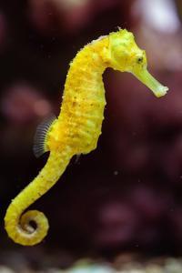 Slender Seahorse (Hippocampus Reidi), also known as the Longsnout Seahorse. Wildlife Animal. by Vladimir Wrangel