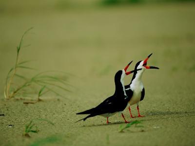 Vocalizing Black Skimmer Birds-James P^ Blair-Photographic Print