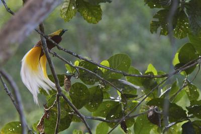 Vogelkopf Peninsula, West Papua, New Guinea, Indonesia-Tim Laman-Photographic Print