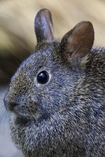 Volcano Rabbit (Romerolagus Diazi) Mexico City, September. Captive, Critically Endangered Species-Claudio Contreras-Photographic Print