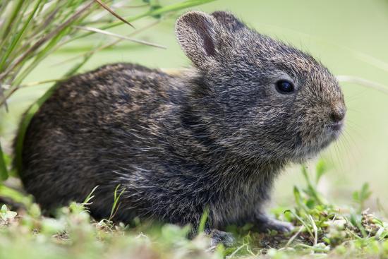 Volcano Rabbit (Romerolagus Diazi) Milpa Alta Forest-Claudio Contreras Koob-Photographic Print