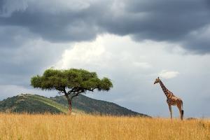 Beautiful Landscape with Nobody Tree and Gireffe in Africa by Volodymyr Burdiak