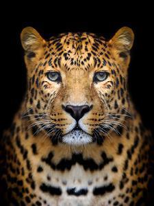 Close-Up Leopard Portrait on Dark Background by Volodymyr Burdiak