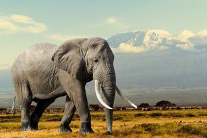 Elephant on Kilimajaro Mount Background in National Park of Kenya, Africa by Volodymyr Burdiak